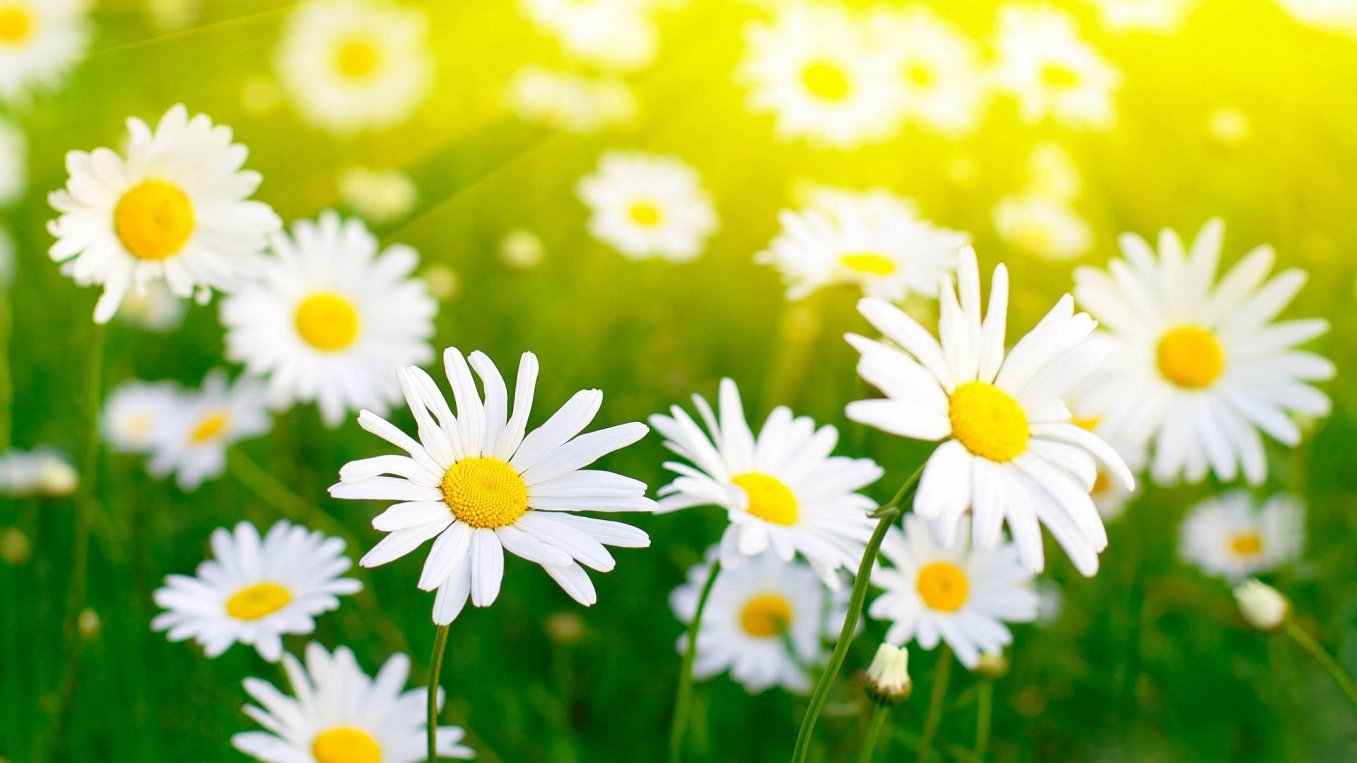 6815571-white-flowers